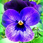 Pansy by The Creative Minds
