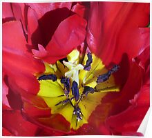 Centre of a Tulip Poster