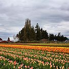 Barns and Tulips 2 by Mike  Kinney