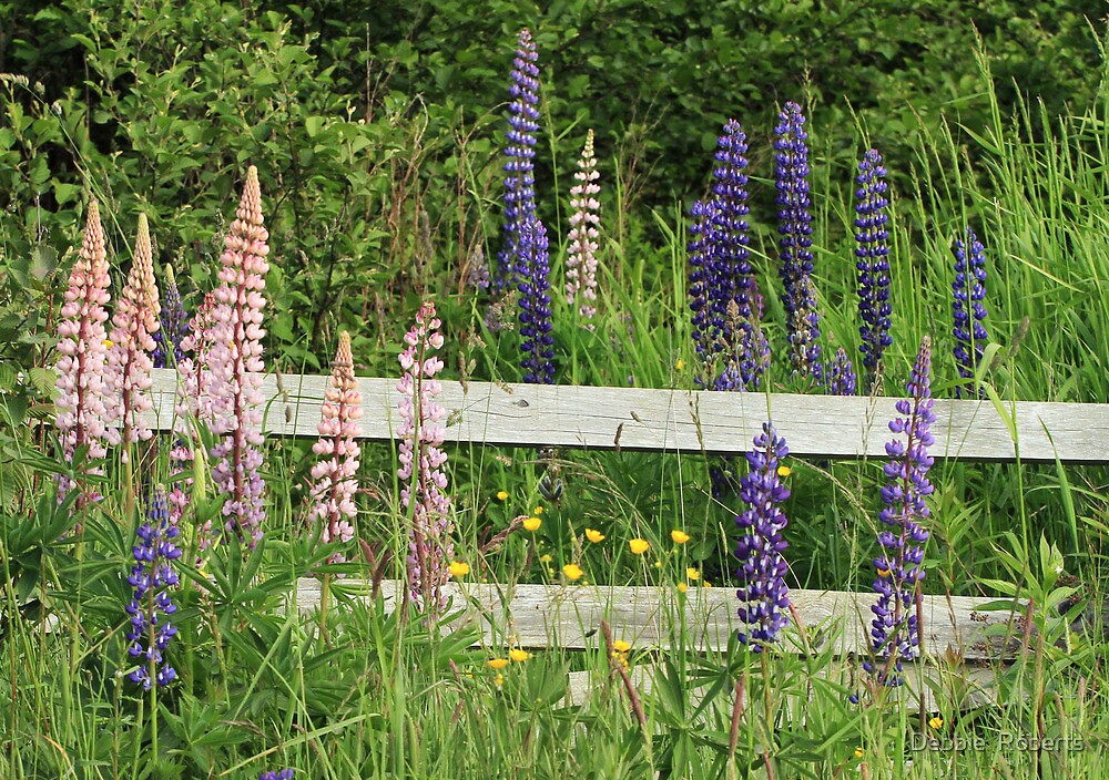 Lupins and Fence by Debbie  Roberts