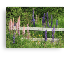 Lupins and Fence Canvas Print