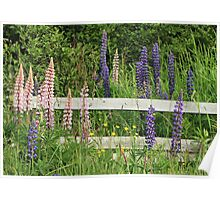 Lupins and Fence Poster