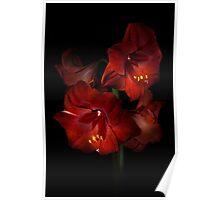 Scarlet Amaryllis Poster