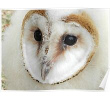 Baby Barn Owl Poster