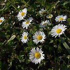 English daisies by demonkourai