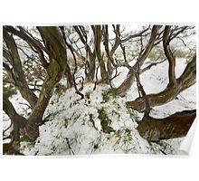 Snowgum near Mount Cope Poster