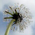 Dandelion by Hannah Fenton-Williams