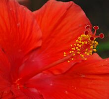 Hibiscus by snubby