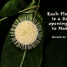 Buttonbush in Nature by Rosalie Scanlon