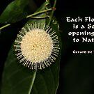 Buttonbush in Nature by Rosalie Scanlon