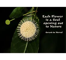 Buttonbush in Nature Photographic Print