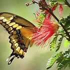 Giant Swallowtail by Kimberly P-Chadwick