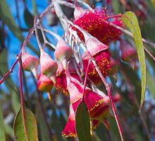 Eucalyptus Caesia, Silver Princess by ELIZABETH KEILY