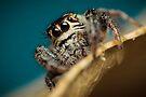 Macaroeris nidicolens female jumping spider extreme macro by Mario Cehulic