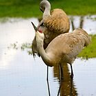 Sandhill Crane... by RichImage