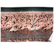 Greater flamingoes, Lake Nakuru Poster