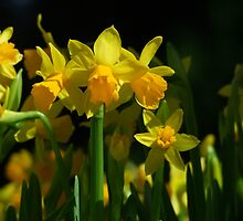 Tete a Tete Daffodils by Gabrielle  Lees