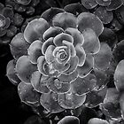 Echeveria_glauca by vilaro Images