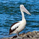 Pelican by Sandy1949