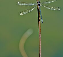 Damselfly IV by Adam Le Good