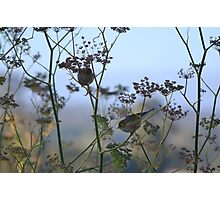 Two Silvereyes Feasting on Fennel Seeds Photographic Print
