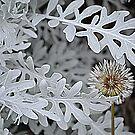 Dandelion by Helen Greenwood