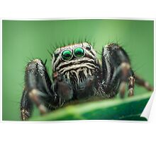 Evarcha arcuata male jumping spider Poster