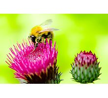Bumble Bee on Thistle Photographic Print