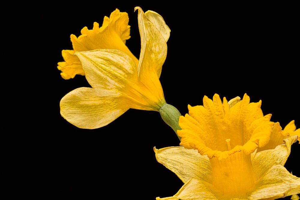 Yellow on Black by Joy  Rector