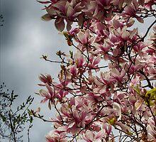 Magnolia by Robert Ullmann