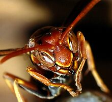 Wasp hanging on the nest. by John Warren