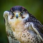 Peregrine Falcon by mlphoto