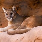 Mountain Lion by BGSPhoto