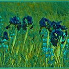 Irises of the Field in Blue by Nira Dabush