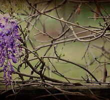 Rustic Country Wisteria by Ginger  Barritt