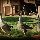 Farmyard Geese by Ginger  Barritt