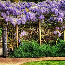 Wall of Wisteria HDR by Anthony Hedger Photography