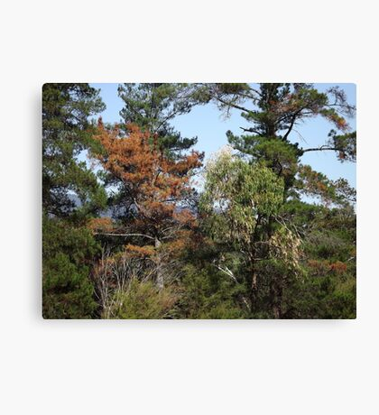 Rustic colours in trees Canvas Print