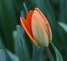 Spring Tulip by Monnie Ryan
