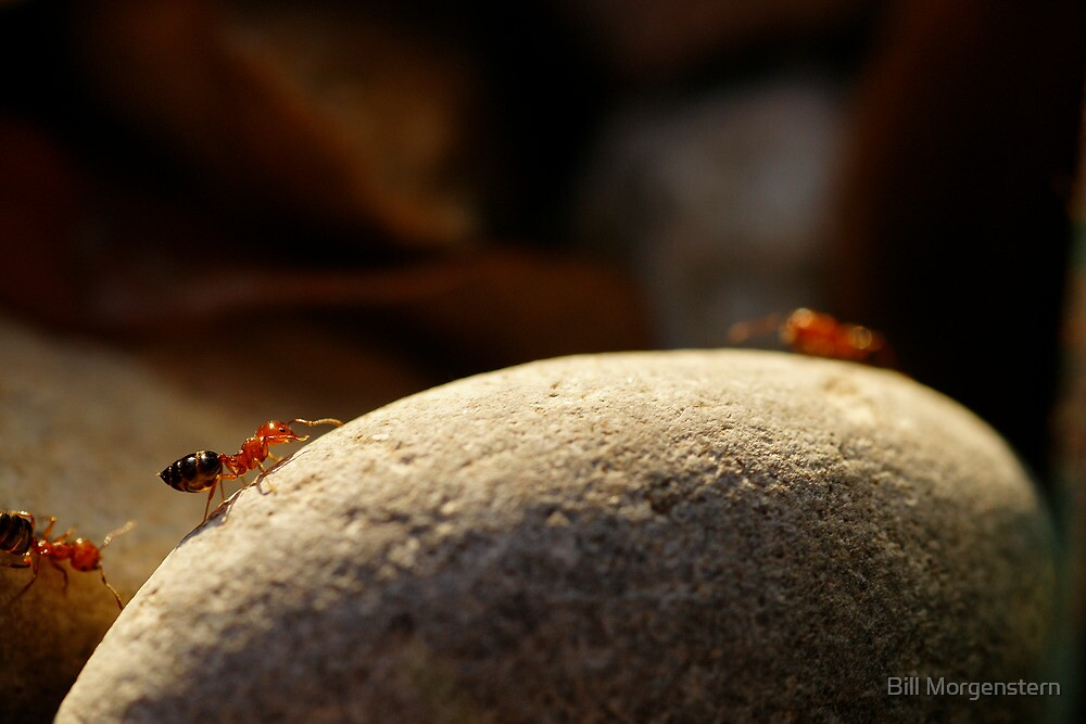 Ants on Parade by Bill Morgenstern