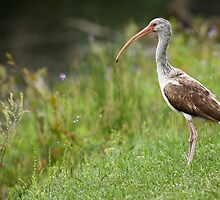 Juvenile White Ibis by Carol Bailey White