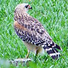 Red Shouldered Hawk with Squirrel by AuntDot