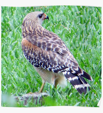 Red Shouldered Hawk with Squirrel Poster