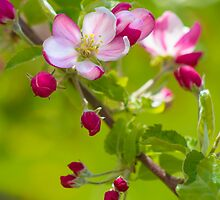 Apple Blossom by Aimee Stewart