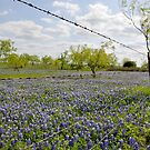 Bluebonnets by angelc1