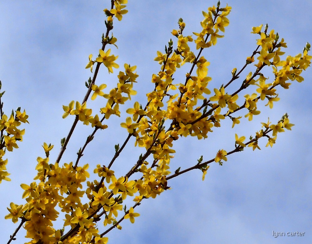 Sunny Forsythia by lynn carter