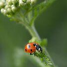 Ladybird iPhone case by Heather Thorsen