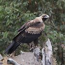 Dont Think I am Not Watching  Wedge Tailed Eagle Canberra  by Kym Bradley