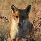 Mine   ~ Fox taken over the Eagles Kangaroo ~ Canberra Australia by Kym Bradley