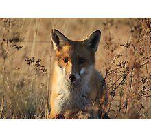 Mine   ~ Fox taken over the Eagles Kangaroo ~ Canberra Australia Photographic Print
